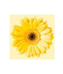 Salvrätik 33x33/20 Gerbera yellow